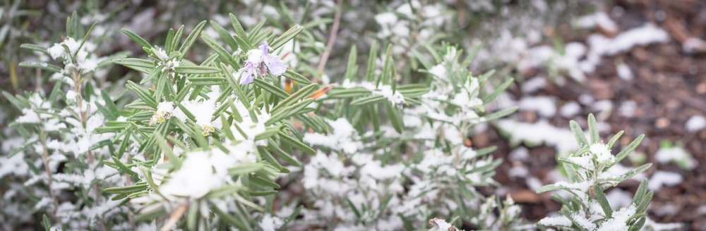 rosemary plants covered in snow