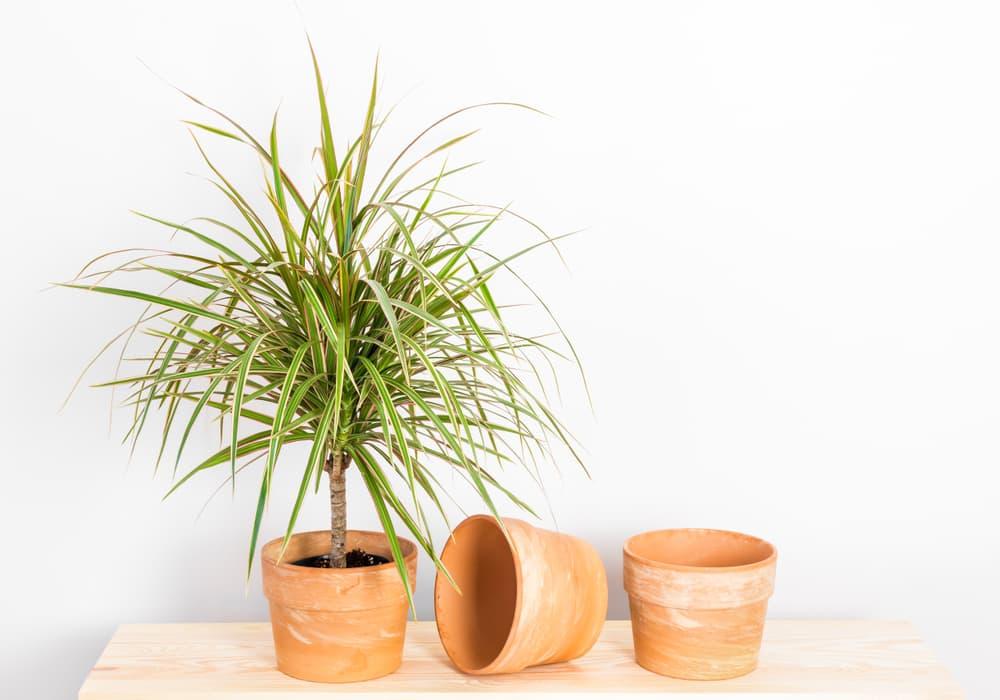 Dracaena marginata tricolor in a clay pot on a timber shelf