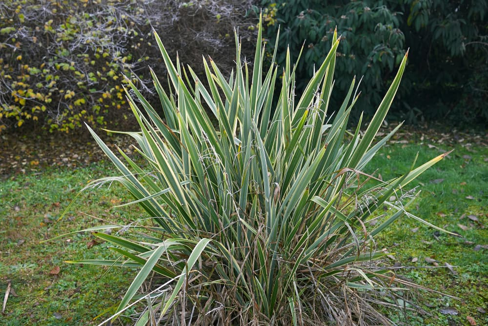 Phormium tenax in a garden with shrubs in the background