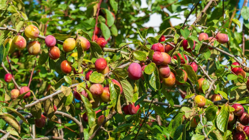 victoria plum tree with many unripened fruits