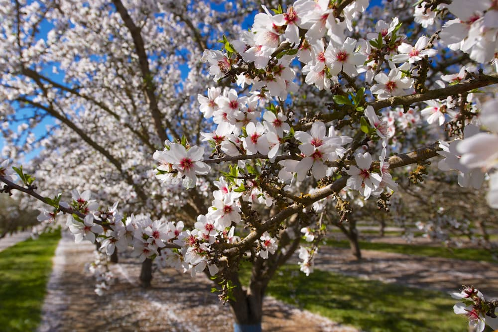white and red flowers of an almond tree in full bloom