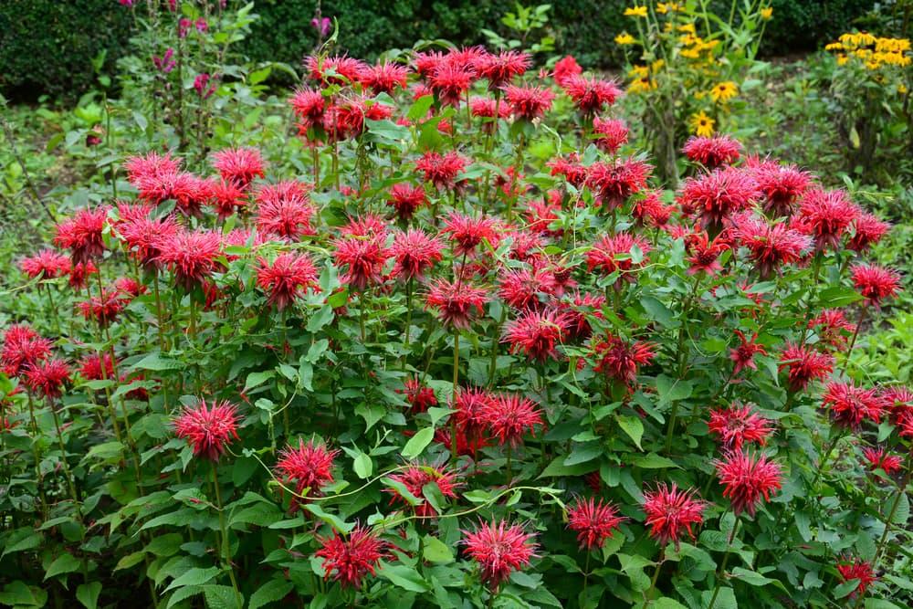 red flowering Monarda didyma herbs in a garden