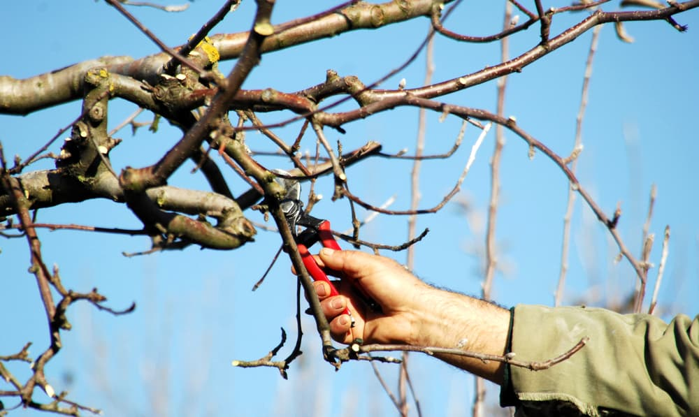 close up of a hand holding secateurs and pruning an apple tree