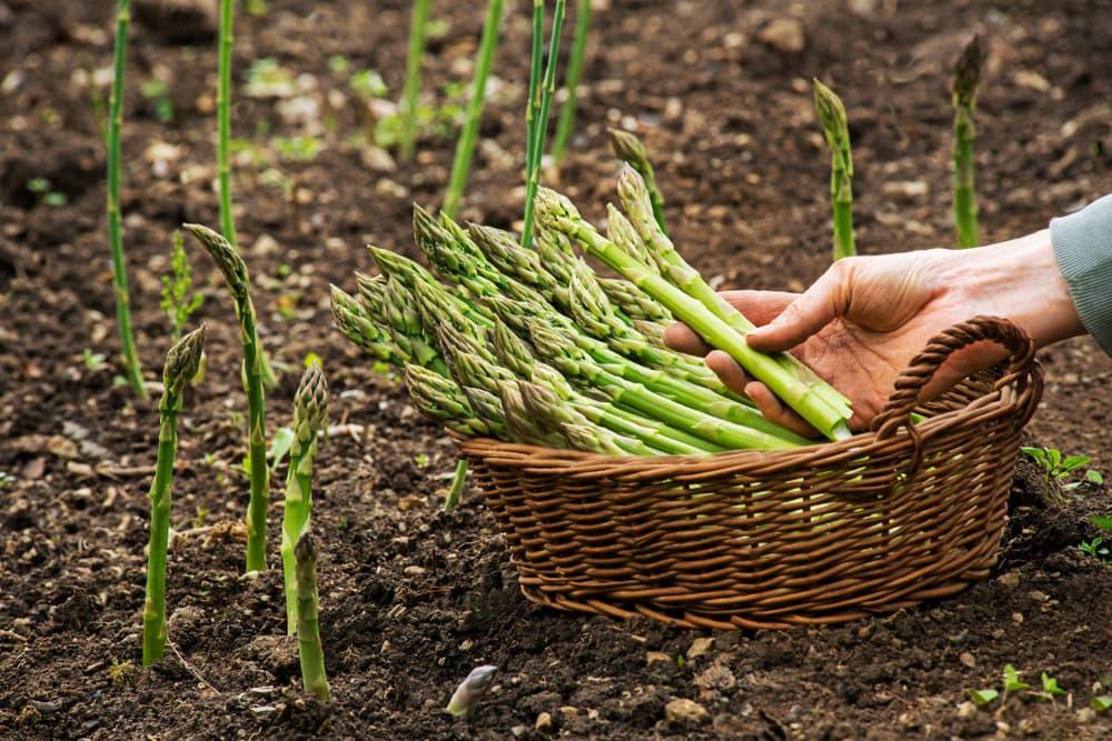 asparagus stems in a wicker basket sat on soil