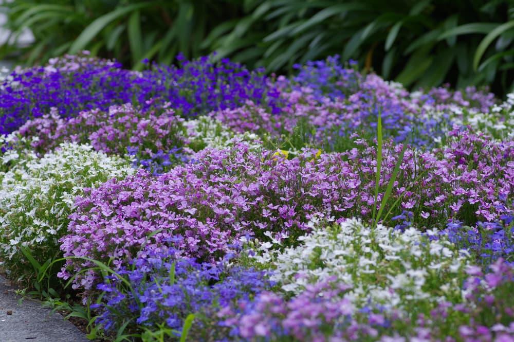a flower bed of Lobelia erinus in various shades of purple