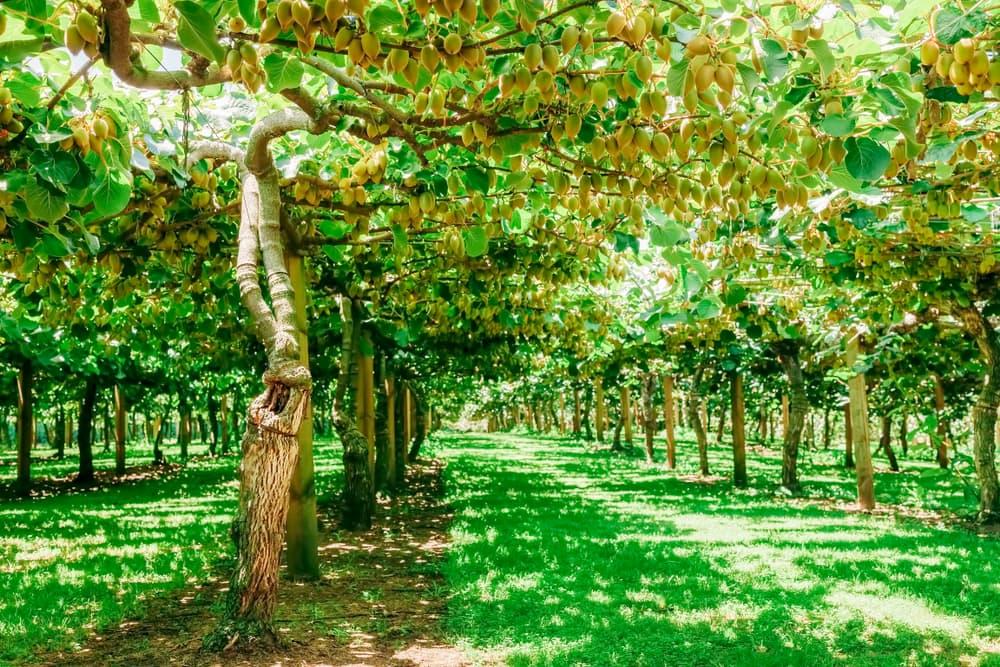 kiwifruit farm in Bay of Plenty, New Zealand
