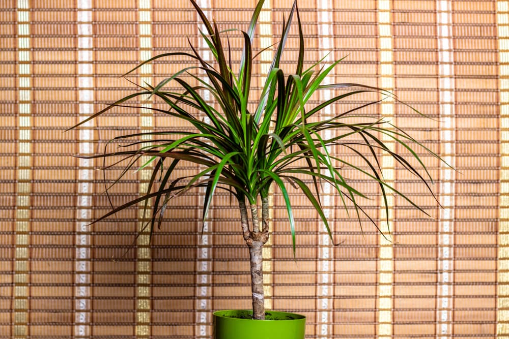 dragon plant in a green pot with blinds in background