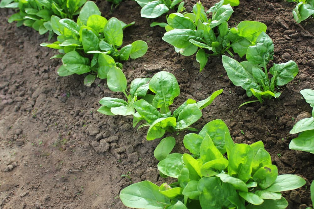 spinach plants growing in a vegetable plot