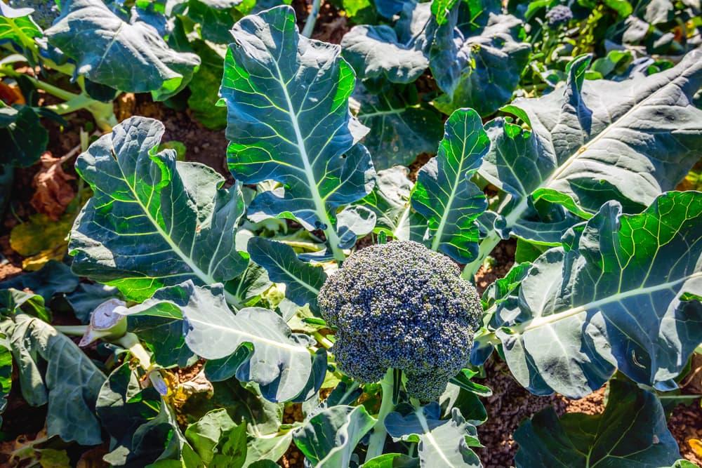 close up of mature broccoli plant