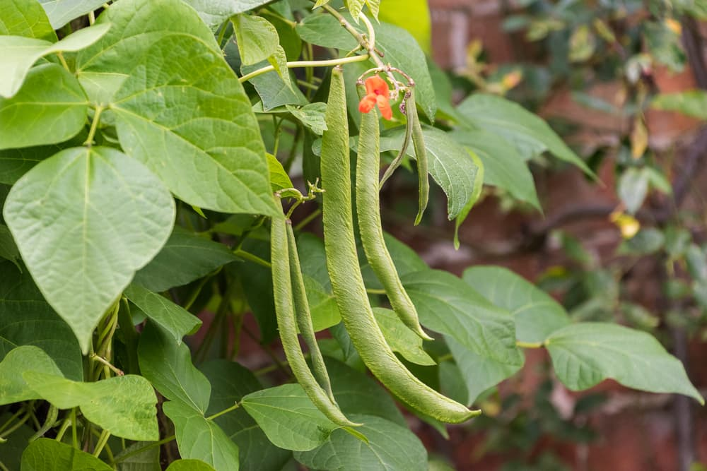 runner beans hanging from the plant with orange flowers