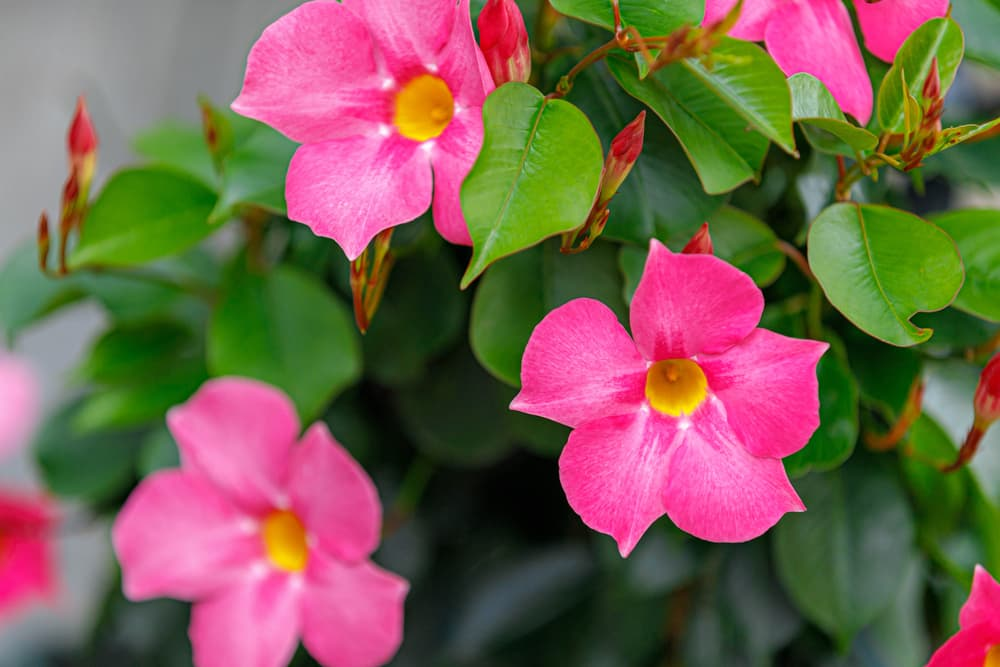 close up of pink flowering Rocktrumpet in the garden