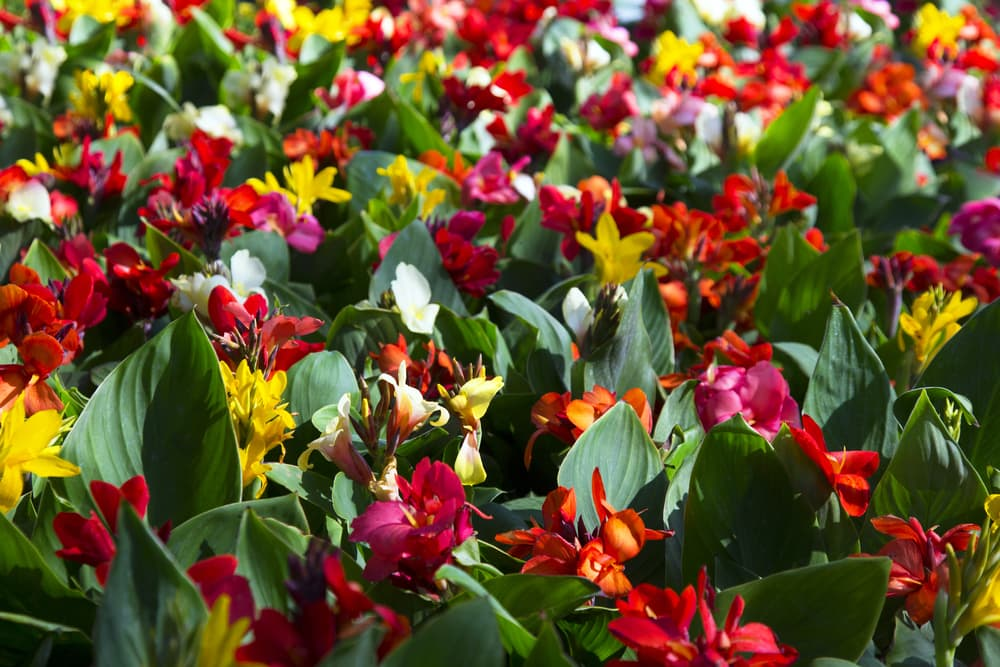 canna lilies in yellow, red, pink, orange