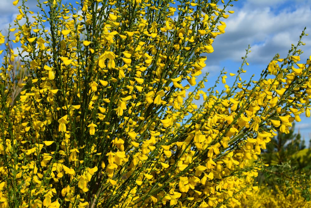 yellow flowers of Cytisus scoparius