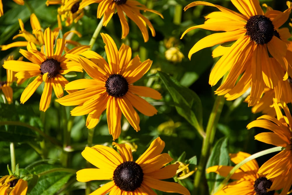 Rudbekia Goldstrum flowers