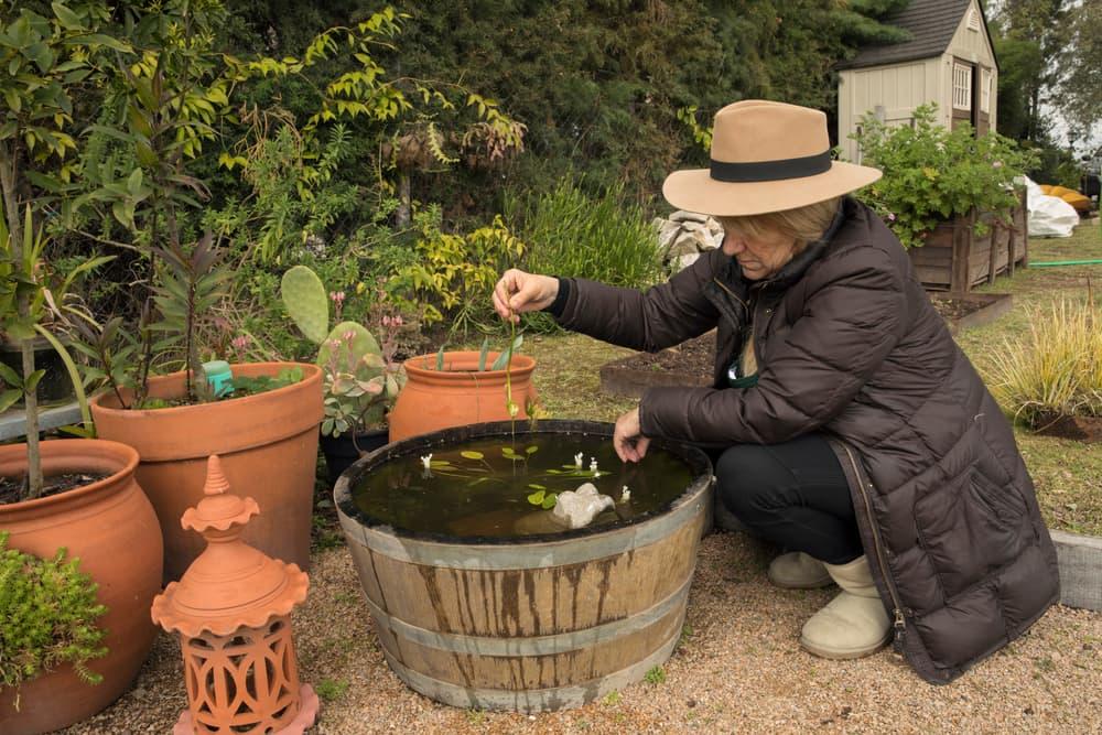 woman cleaning a garden barrel pond