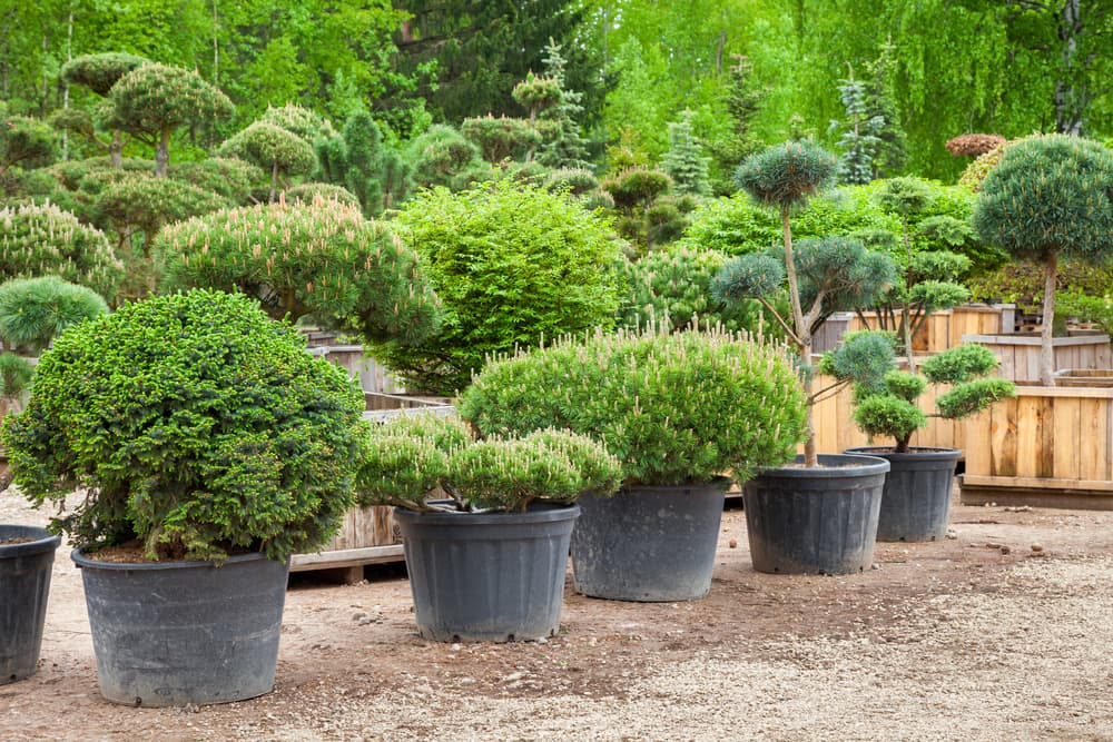 conifers and pines in plastic containers