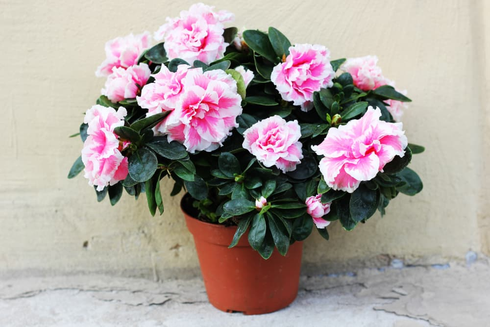 Pink azaleas in a plastic pot with rendered wall in the background