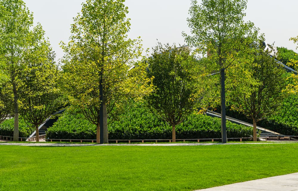 lawn area with Liriodendron tulipifera trees in the background