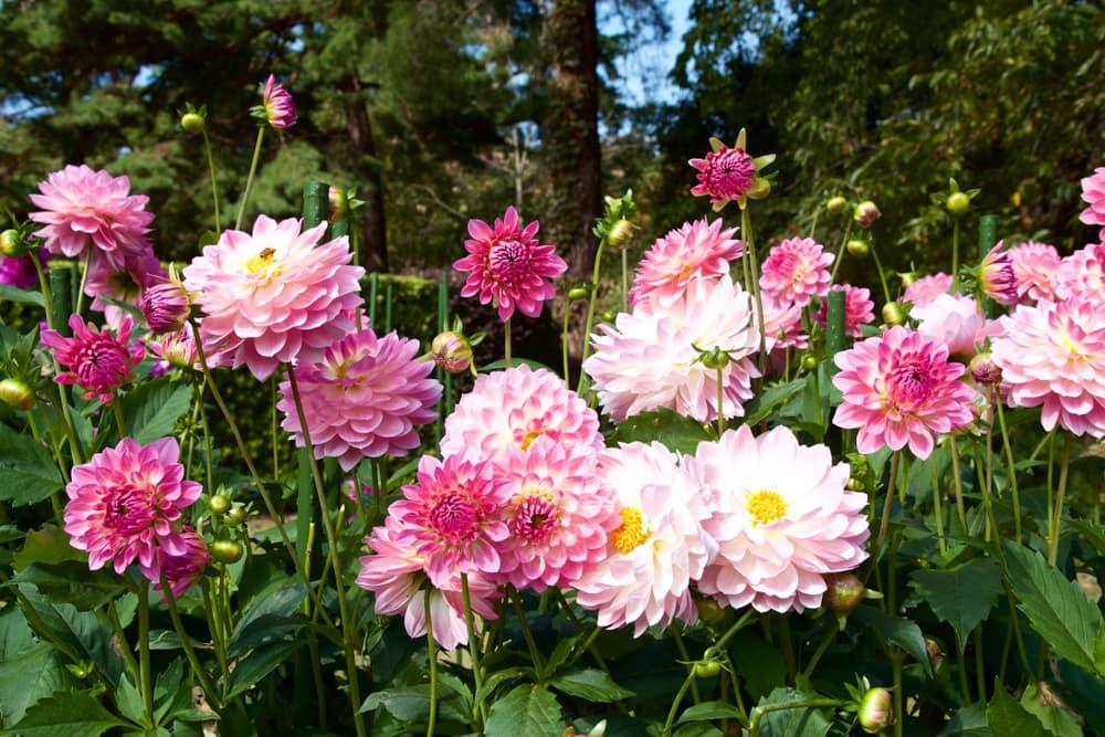 pink dahlias blooming in a garden