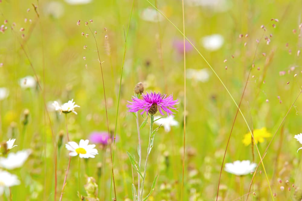 Greater Knapweed and Centaurea Scabiosa flowers in focus, with a meadow in the background