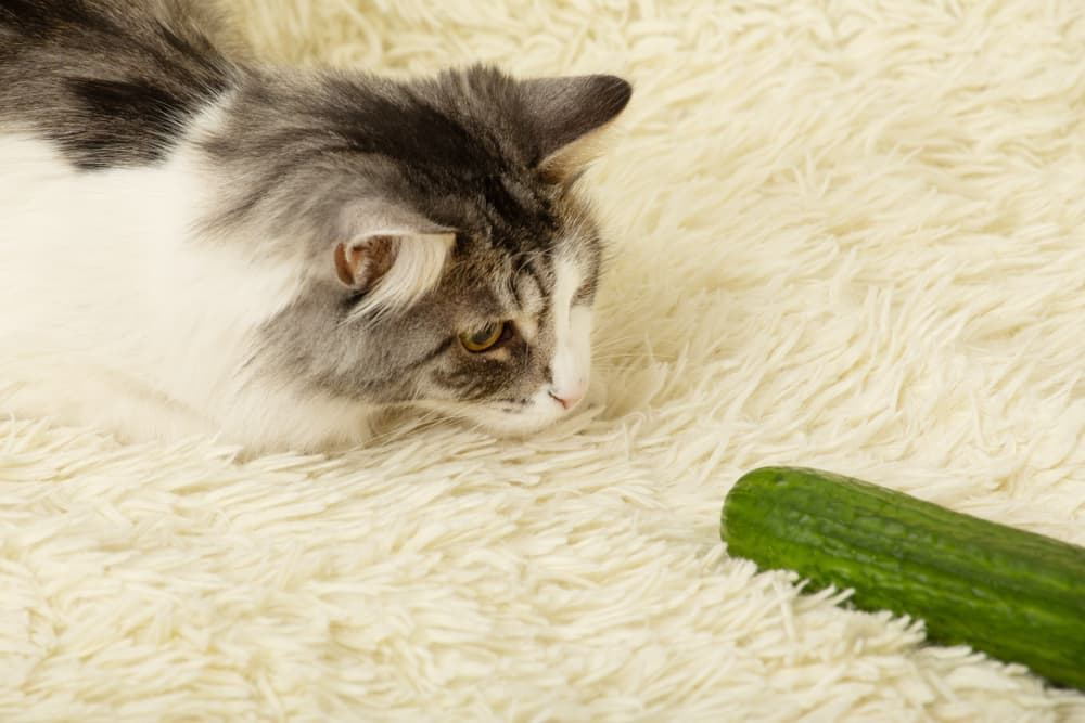 cat staring at a cucumber on a white fluffy rug