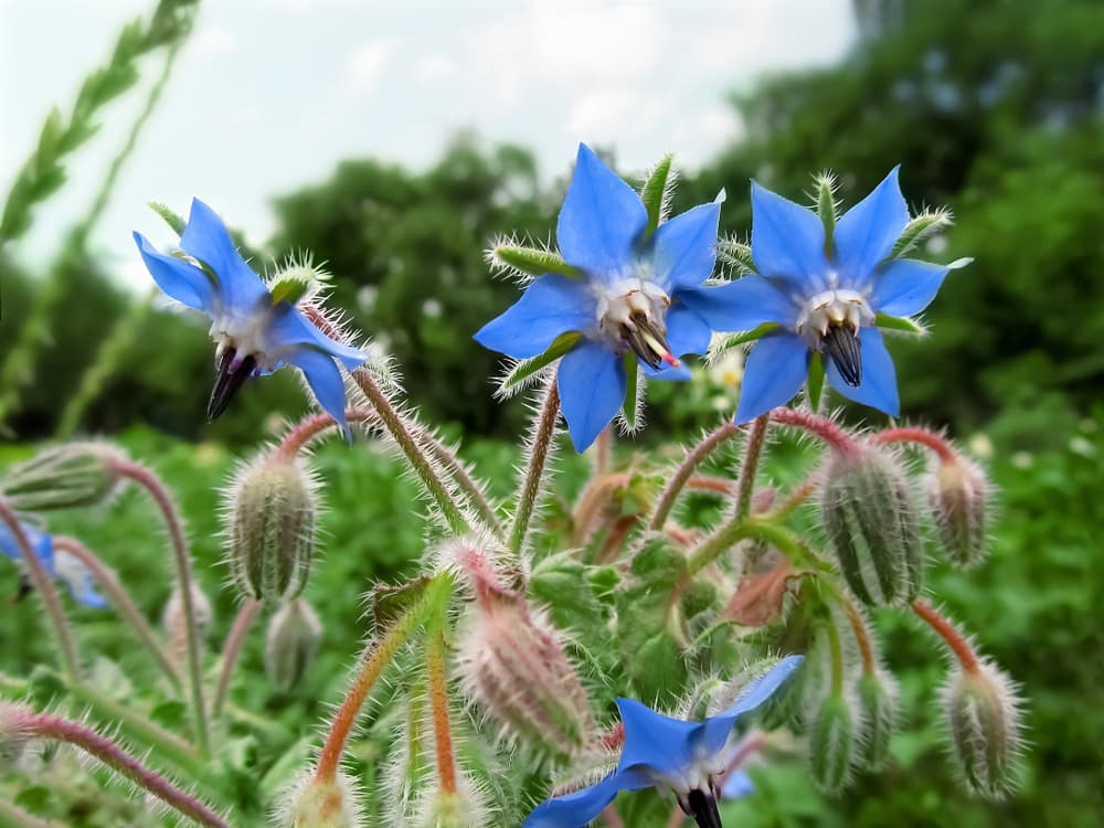 beautiful light blue borage flowers