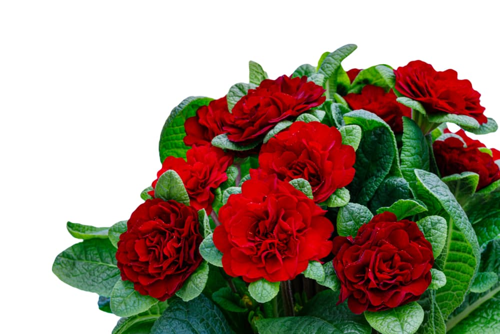 rose-like flowers of P. Belarina Series in deep red colour