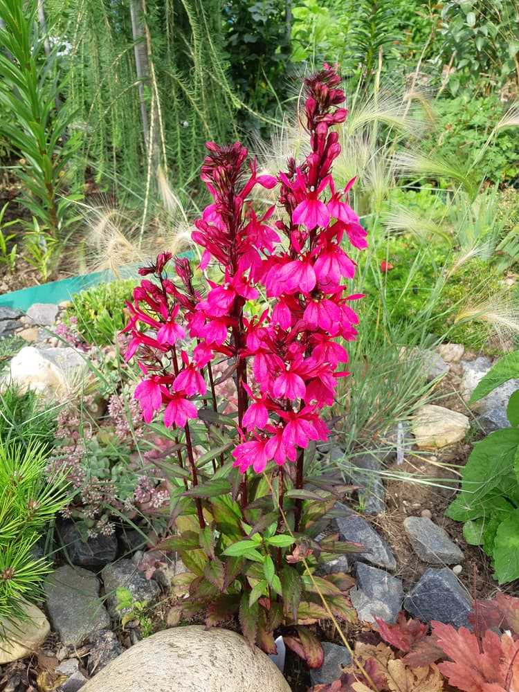 tall Lobelia Monet Moment plants in a rockery