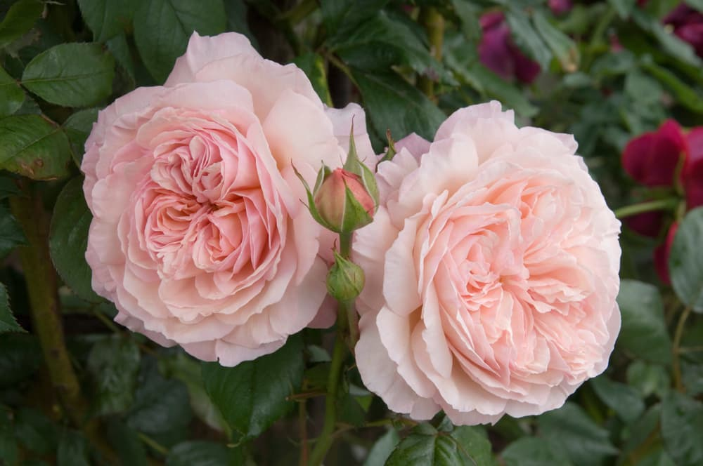 a duo of pink Shropshire Lad roses