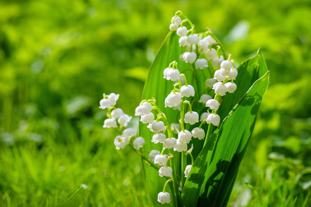 white bells of lily of the valley with fields in the background