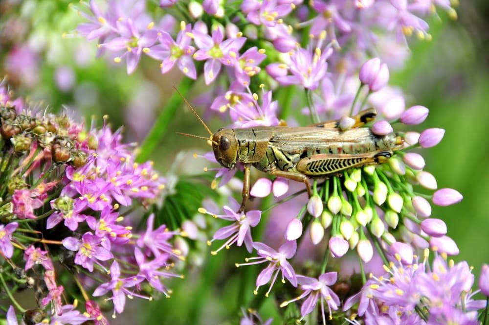 grasshopper sat on flowers of Allium stellatum Umbel