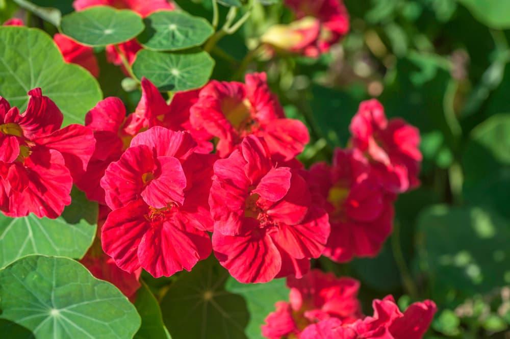 T. majus 'Jewel Cherry Rose'