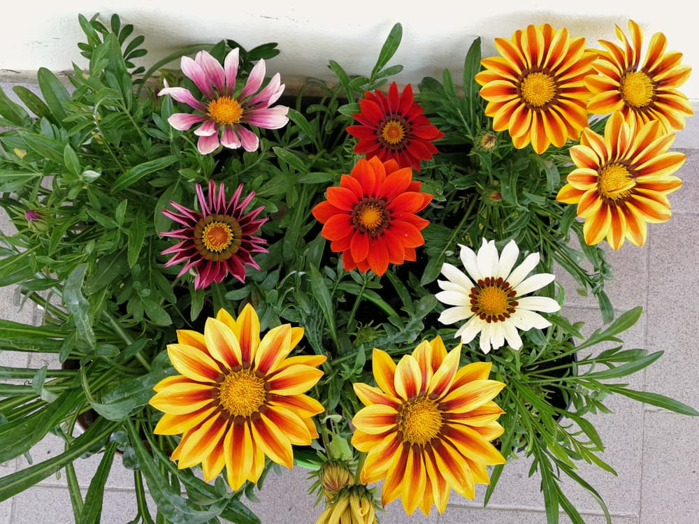 a box of mixed treasure flowers ready for planting