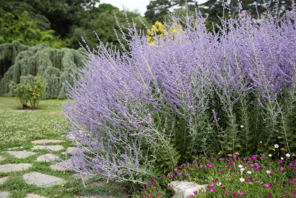purple russian sage in a garden