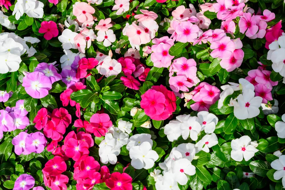 pink, lilac and white flowers of Impatiens walleriana