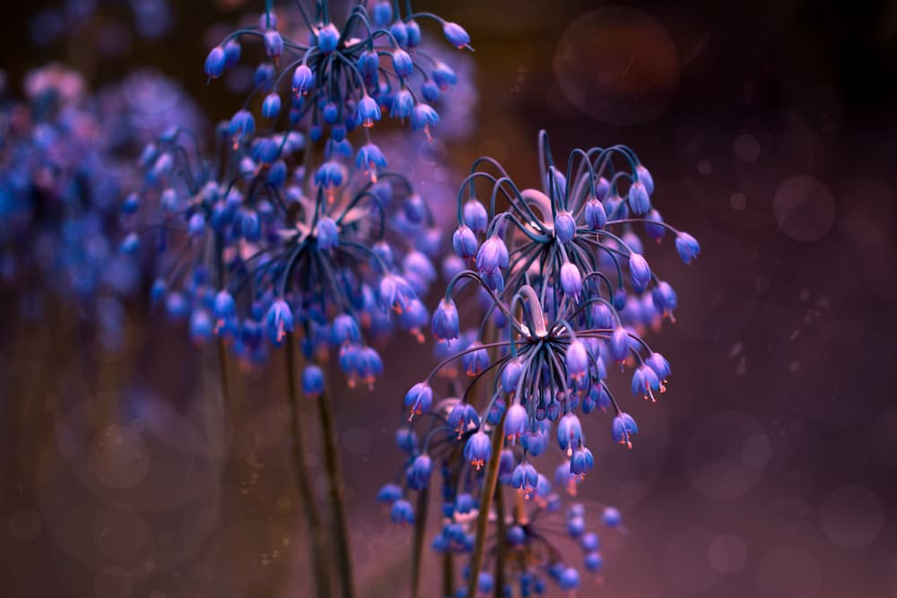 blue magenta wild onion flowers