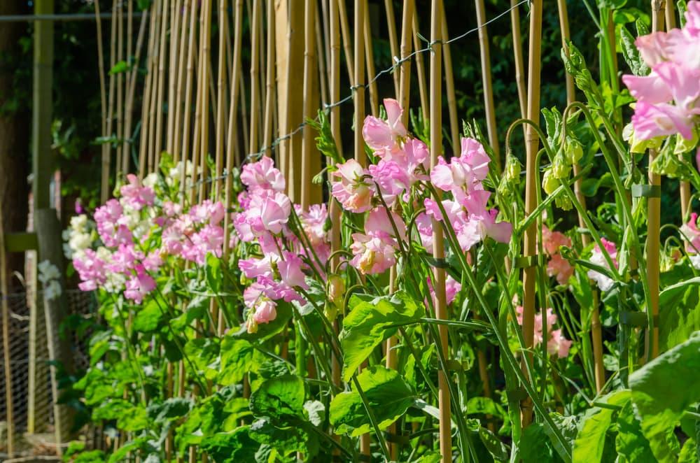 sweet peas growing up bamboo sticks