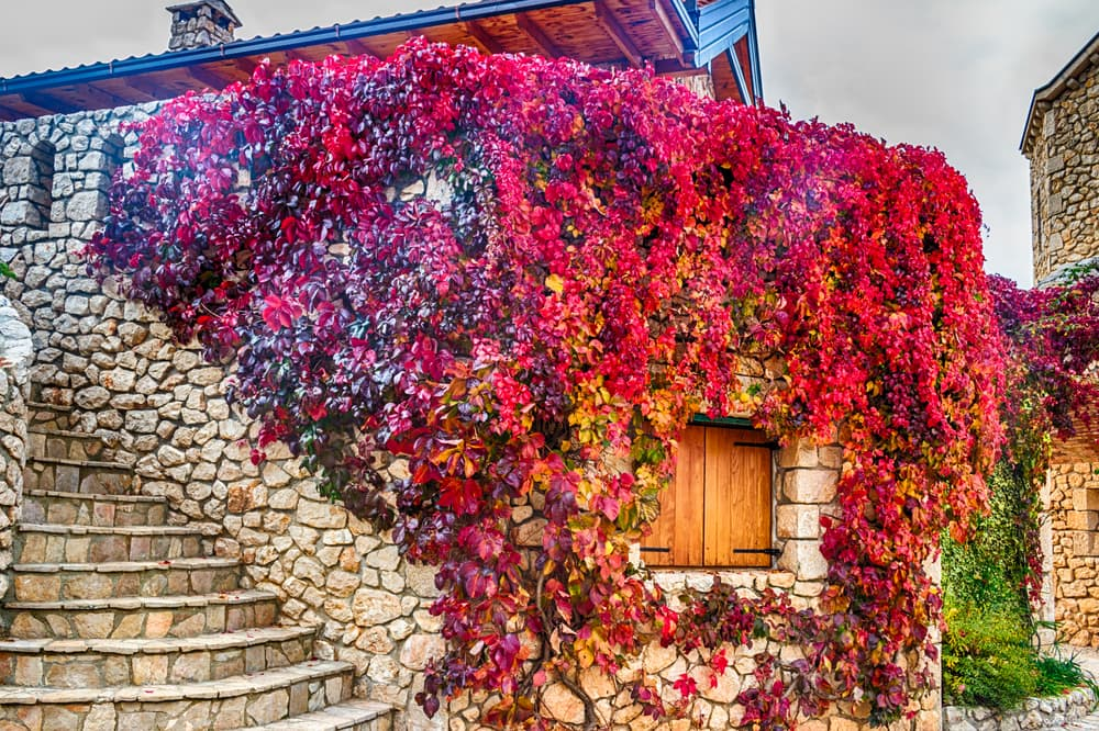 virginia creeper on the walls of a house