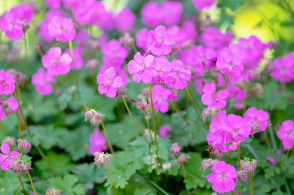 G. × cantabrigiense 'Karmina' magenta-coloured flowers