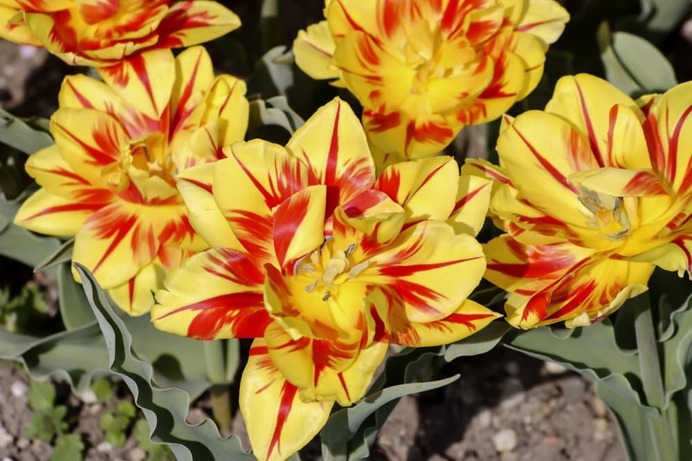 fully opened Bi-Coloured Monsella Tulips