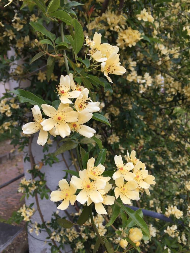 yellow Rosa banksiae 'Lutescens'