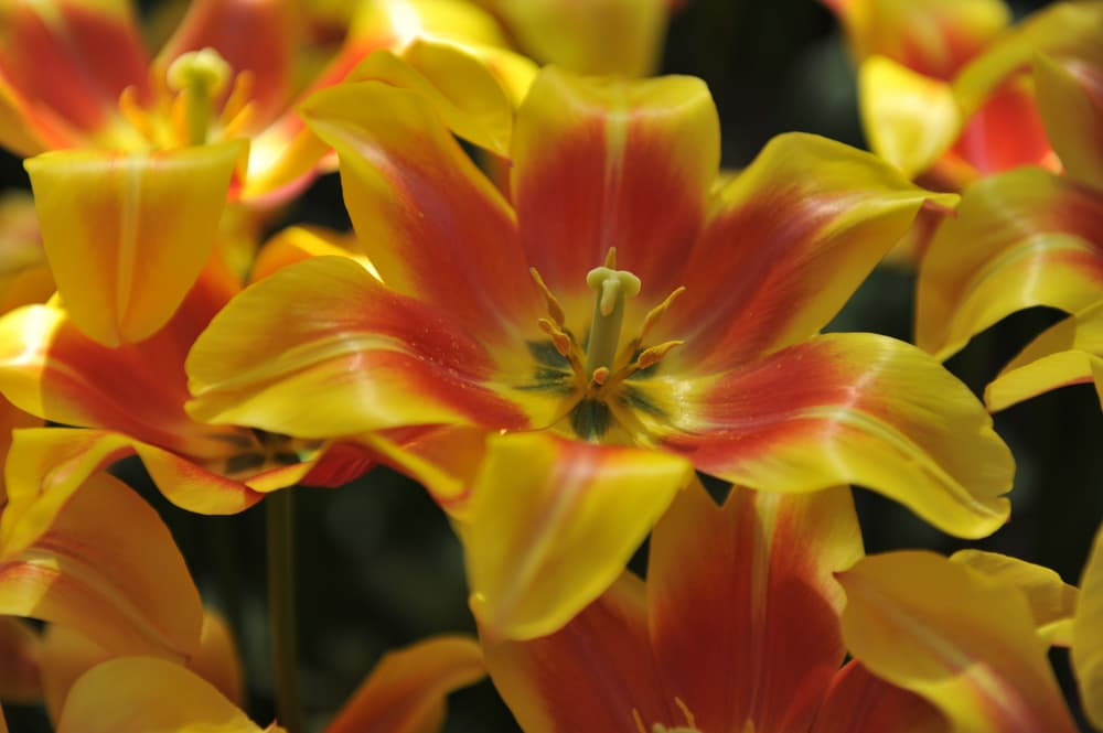 Tulip 'Ballade Dream' with hues of yellow and orange