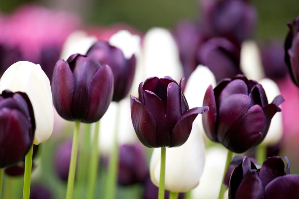 Queen of Night and Alabaster Tulips