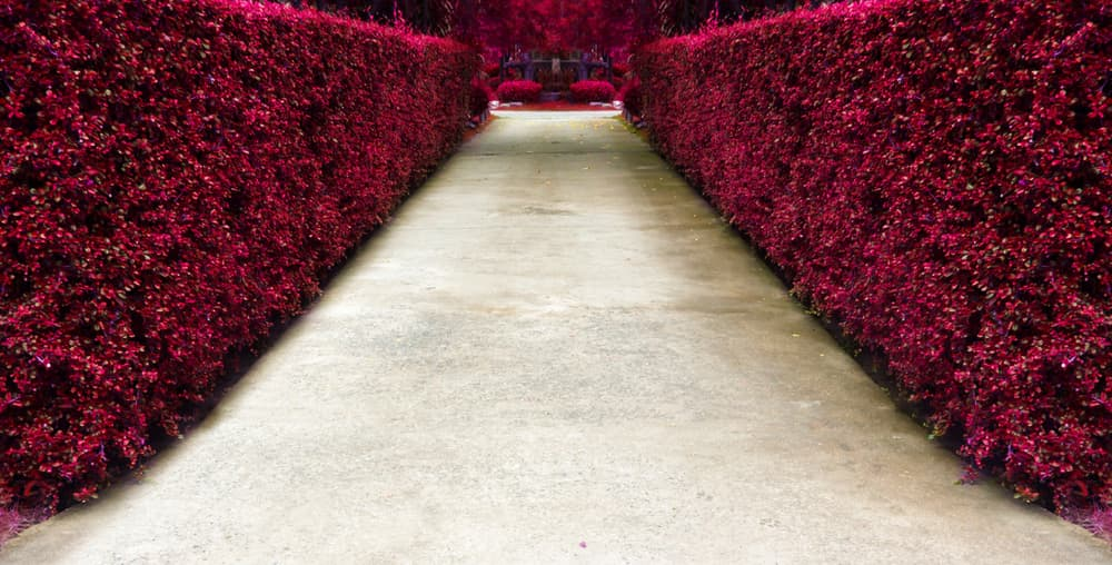 long white path with pink hedging