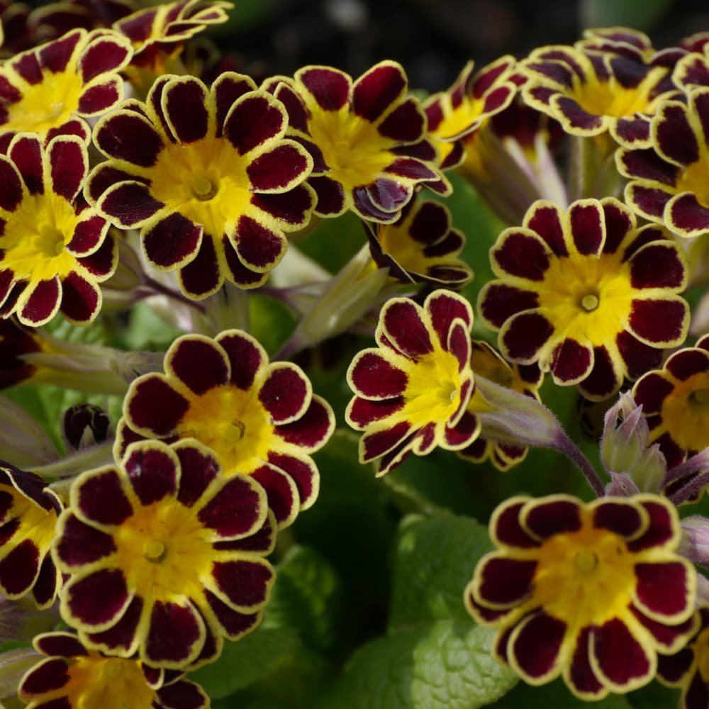 maroon and yellow coloured flowers of P. Gold Laced Group