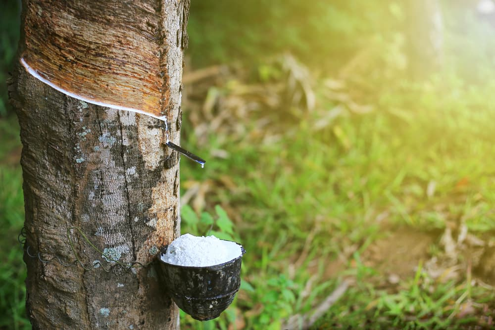 rubber being drained from Hevea Brasiliensis