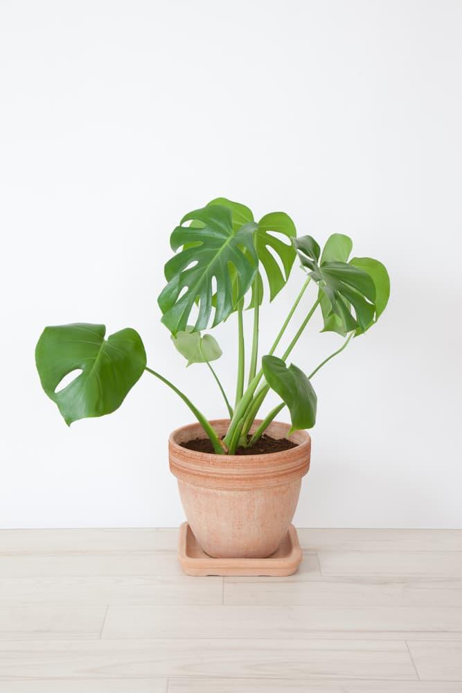 a small monstera deliciosa in a terracotta plant pot