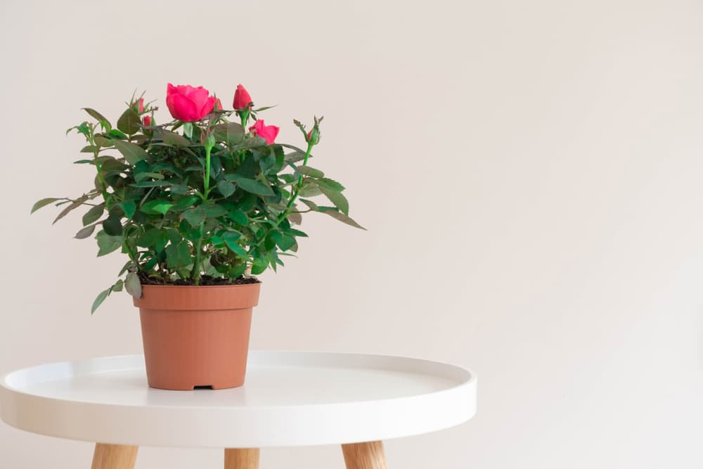 an indoor rose plant sat on a white stool