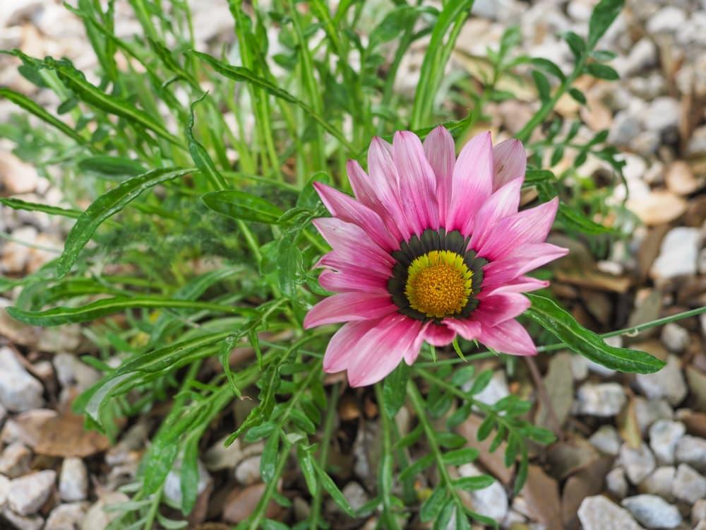 single flower of Pink Trailing Gazania Rigens