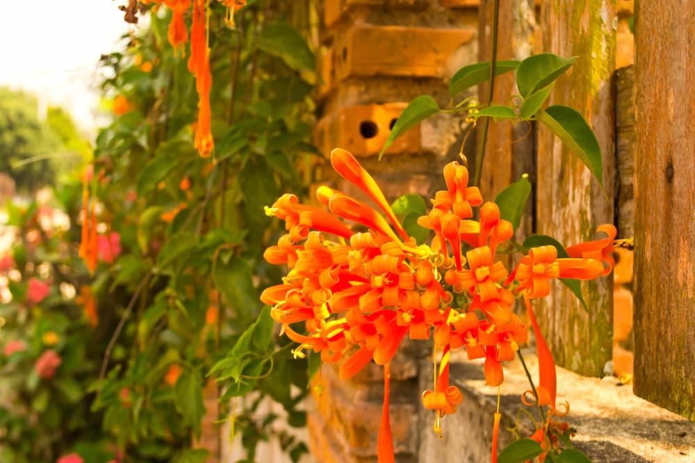 orange trumpet vines with fencing in background